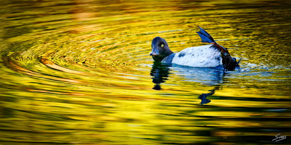A female Common Goldeneye duck after sunrise at Schwabacher Landing in Grand Teton National Park, Wyoming