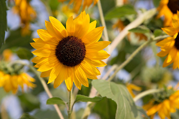 One Sunflower Notecard