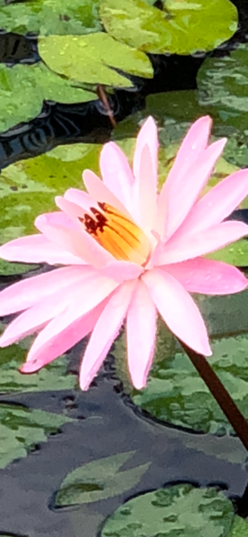 Water Lilies:  Pink Petals