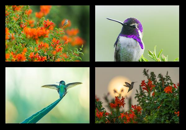 Sunnylands Hummingbirds Photography Art | Tim Laman