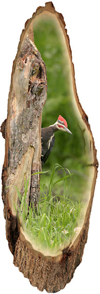 """""""Pileated Woodpecker"""" print form cut out by Jeff Druckrey Images."""