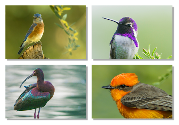 Colorful Birds Art | Tim Laman