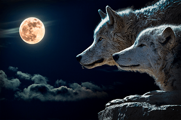 Howling with the Wolves | Koop kunstfotografie print online | A-Galleria