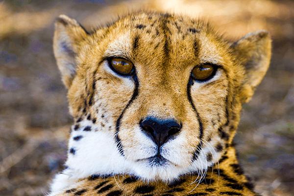 Lazy Cheeta | Koop kunstfotografie print online | A-Galleria