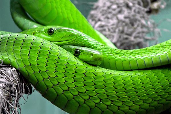 Mamba Snake