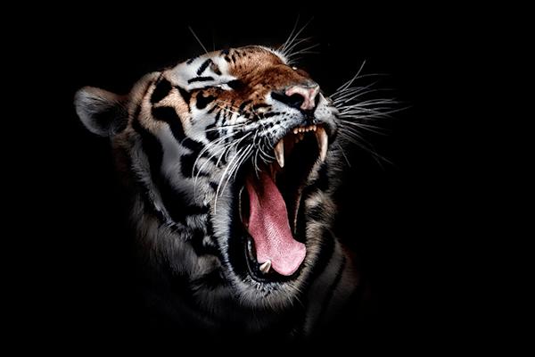 Roaring Tiger | Koop kunstfotografie print online | A-Galleria