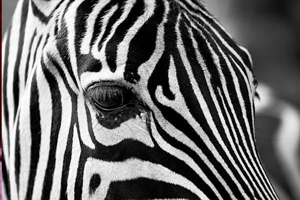 Zebra stripes | Koop kunstfotografie print online | A-Galleria