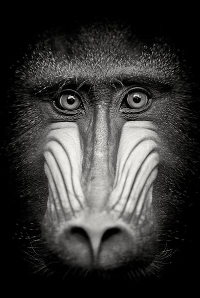 Eyes of a mandrill | Koop exclusieve kunstfoto print online | A-Galleria