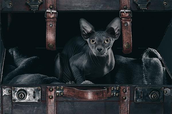 Shiitake the sphynx | Koop exclusieve kunstfoto print online | A-Galleria