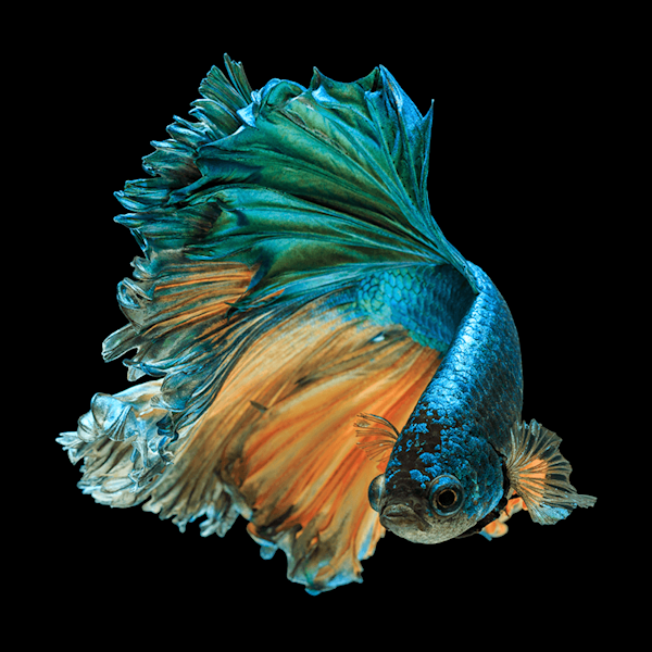 Betta Fish | Beperkte oplage kunst print - Kidsada Manchinda | A-Galleria