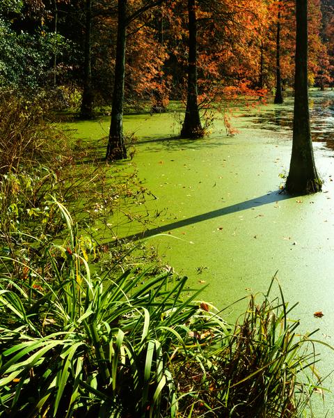 Fine Art Print | Bald Cypress Trees of Trap Pond