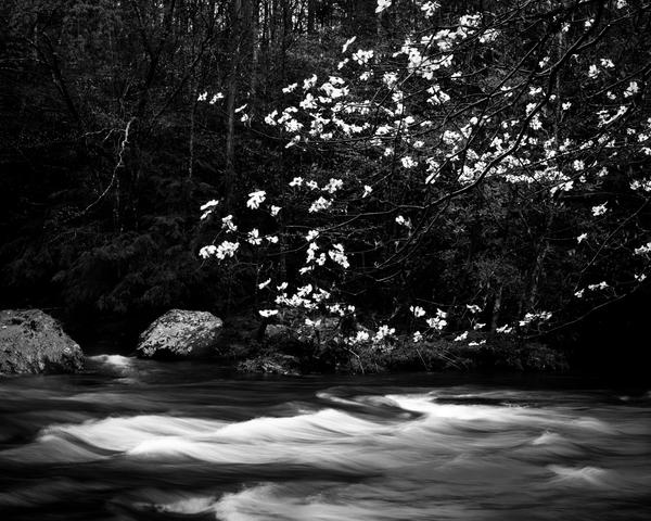 Fine Art Print | Flowering Dogwood Flowing Water