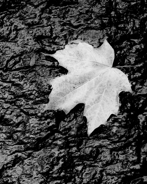 Fine Art Print | Solitary Fallen Maple Leaf