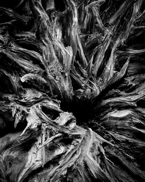 Fine Art Print | B&W of a Fallen Giant Sequoia Root Sytem