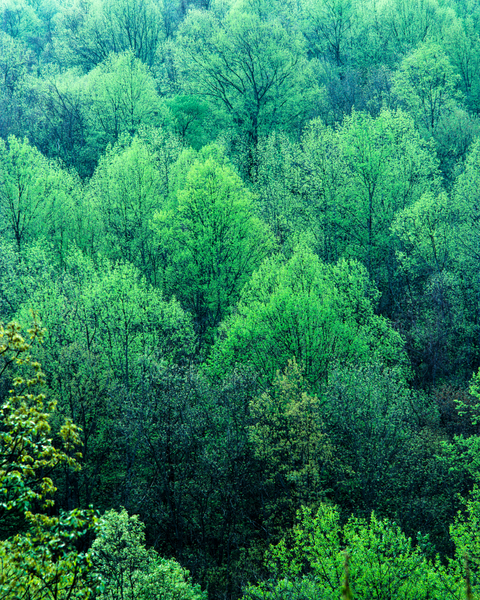 Fine Art Print | Forest in Rich Green Color of Spring
