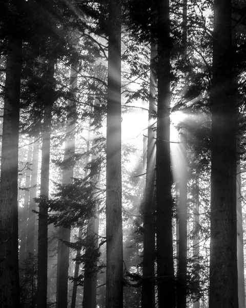 Fine Art Print | Giant Sequoia Grove Morning Rays