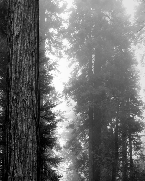 Fine Art Print | Morning Fog in Redwood Grove