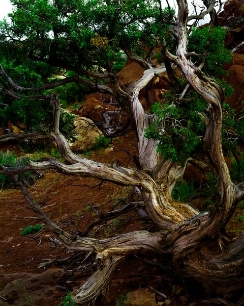 Fine Art Print | Ancient Utah Juniper Tree