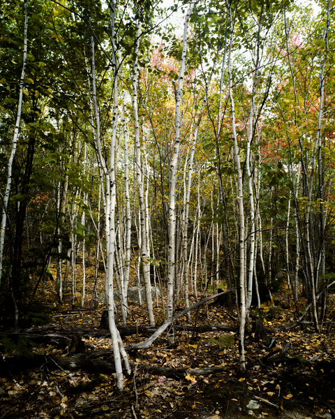 Fine Art Print of a White Birch Grove seemingly on the march