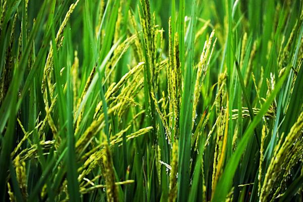 Rice Myanmar
