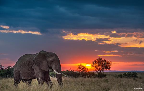 Photograph of solo elephant at sunset, Masai Mara, Kenya, 2016.