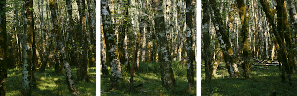 Fine Art Multi-Panel Print of stunning landscape of Red Alder Grove in Hoh Rain Forest.