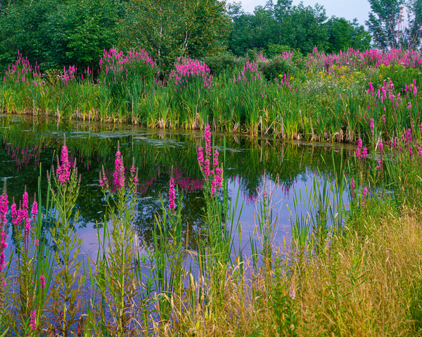 Fine Art Print of vivid wild flowers encircling a quiet pond