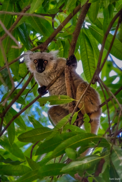 Female black lemur, Lokobe National Park, Madagascar