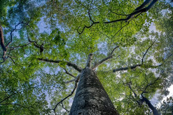 Baobab tree, Ankarana National Park