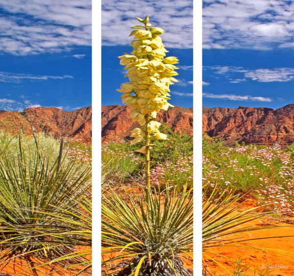 Yucca Blossom Photography Art   Art in Nature