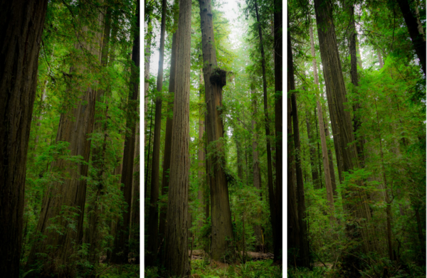 Sleeping Giants - Redwood forest in Northern California limited edition photograph print