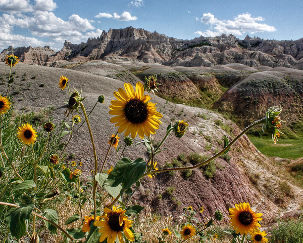 Sun Flowers In The Badlands Photography Art | Happy Hogtor Photography