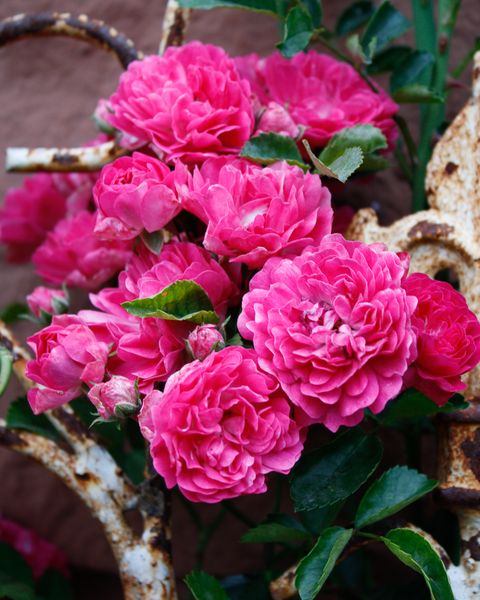 Roses And Rust 1 Photography Art | Happy Hogtor Photography