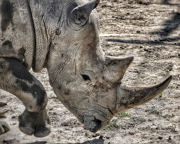 Rhino's Rough Skin Photography Art | Happy Hogtor Photography