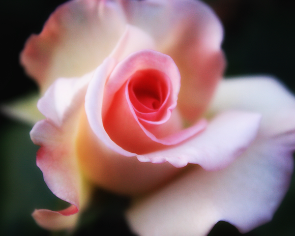 Pink Rose Photography Art | Happy Hogtor Photography