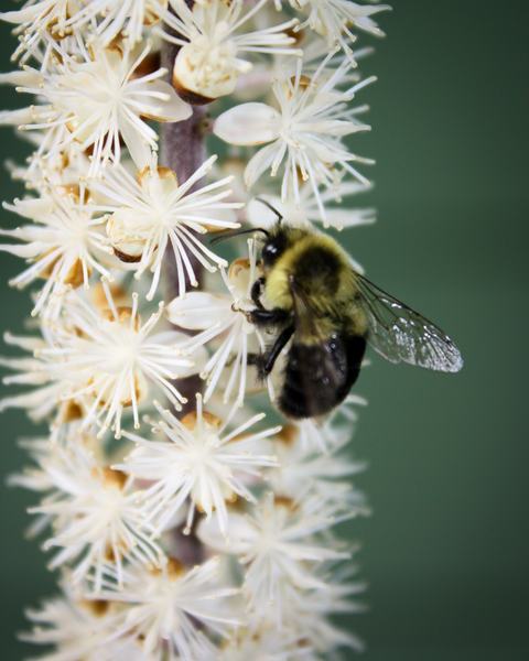 Bee On White Flower Photography Art | Happy Hogtor Photography