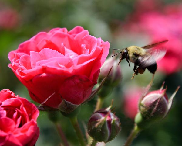 Rosy Bee Photography Art | Happy Hogtor Photography