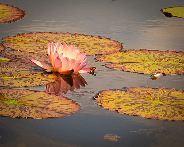 Pink Lily In The Water Photography Art | Happy Hogtor Photography