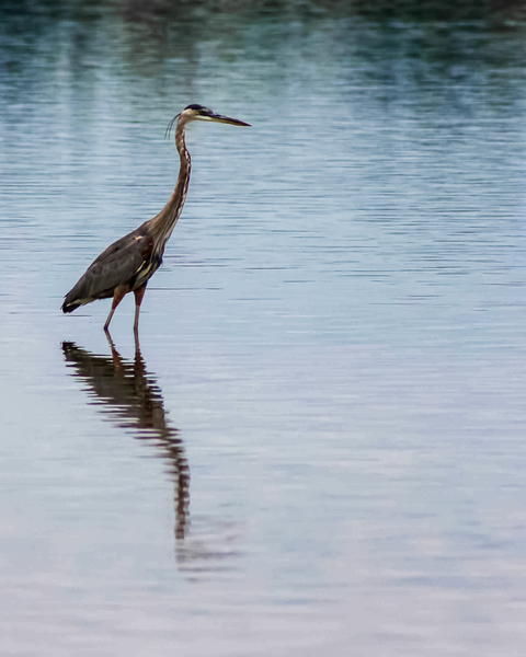 Blue Heron Standing Photography Art | Happy Hogtor Photography