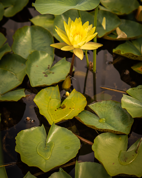 Yellow Water Lily Photography Art | Happy Hogtor Photography
