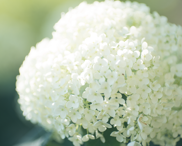 White Hydrangea Photography Art | Happy Hogtor Photography
