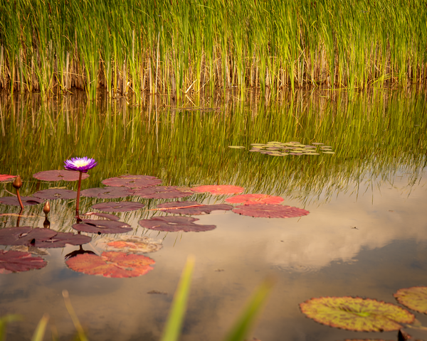 Purple Lily In Pond Photography Art | Happy Hogtor Photography
