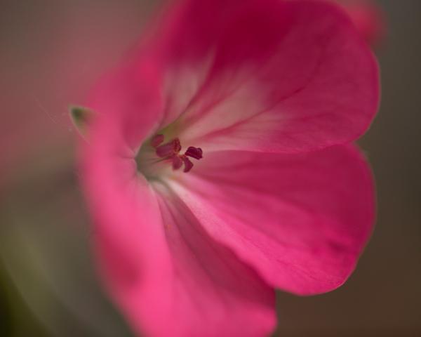 Fuchsia Flower Photography Art | Happy Hogtor Photography
