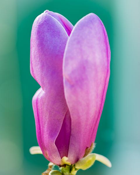 Closed Magnolia Bloom Photography Art | Happy Hogtor Photography