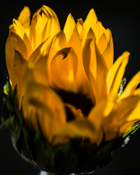 Sunflower In The Dark Photography Art | Happy Hogtor Photography
