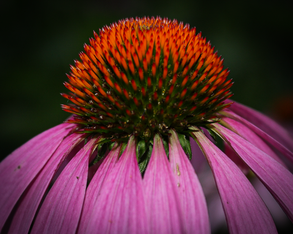 Purple Coneflower Photography Art | Happy Hogtor Photography