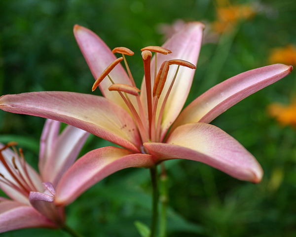 Pink Lily In The Garden Photography Art | Happy Hogtor Photography