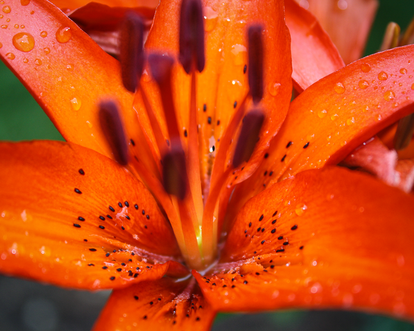Tiger Lily After The Rain Photography Art | Happy Hogtor Photography