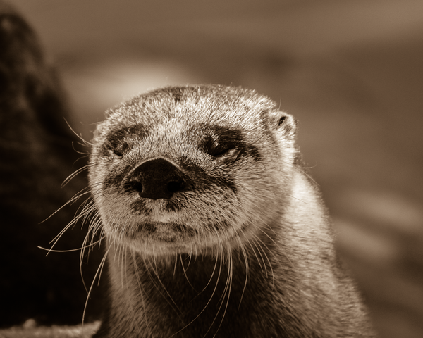 Otter Sepia Photography Art | Happy Hogtor Photography