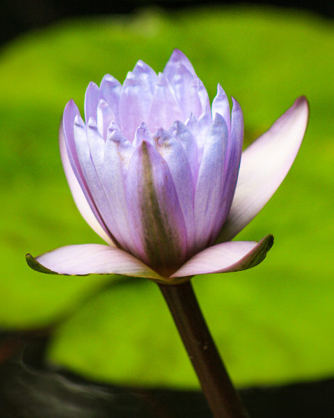 Soft Purple Water Lily Photography Art | Happy Hogtor Photography